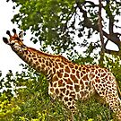 """giraffe - side VIEW "" by grsphoto"