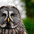 Great Grey Owl, Strix nebulosa by buttonpresser