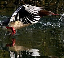 Flight Of The Goosander by snapdecisions