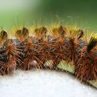 Caterpillar (Silver-Spotted Tussock Moth) by SKNickel