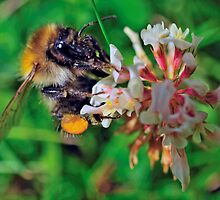 Bee On Flower 0034 by mike1242