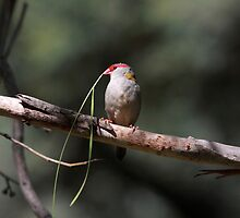 Red-browed Finch by mosaicavenues