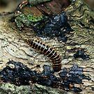 Centipede by CMCetra