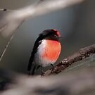 Red-capped Robin (male) by Kerryn Ryan, Mosaic Avenues