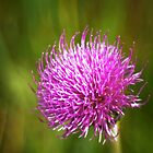Meadow thistle - one single flower by steppeland