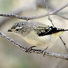 Spotted Pardalote by Kerryn Ryan, Mosaic Avenues