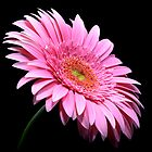 gerbera with small water drops on black background by Anastasiya Smirnova