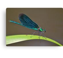 Demoiselle  Agrion   [ calopteryx virgo ] Canvas Print