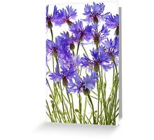 blue cornflowers Greeting Card