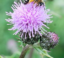 Bee On Flower 0055 by mike1242