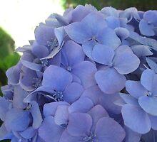 Hydrangea bloom at Rhodo Park by smiles15