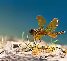 Eastern Amberwing by Kathy Weaver