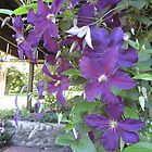 PURPLE-BLUE FLOWERS AT BLOOM IN CT. by paintnpot