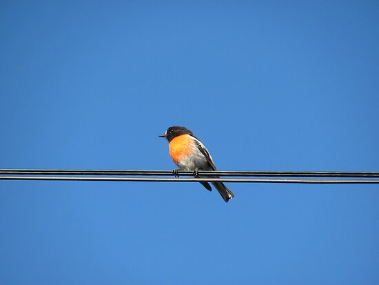 Robin on a Power Line by Derwent-01