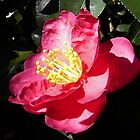 Rose Colored Camellia Blossom Art by naturesfancy