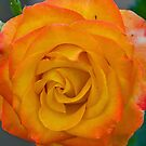 Beautiful rose by julie08
