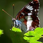 White Admiral (Limenitis camilla) by Ian Sanders