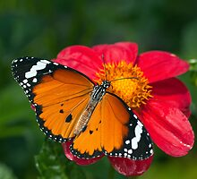 Monarch Butterfly (Danaus plexippus) by Steve  Liptrot