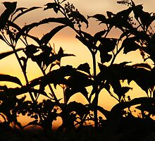 Silhouetted plants in Wakarusa by agenttomcat