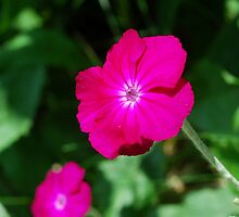 Best Shot of a Rose Campion by RoyceRocks