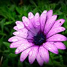 Wet &amp; Miserable Daisy by EdsMum