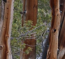 Ponderosa Pine old trunks by David Galson