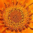 Orange Gazania by kwill
