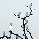 Great white egrets, in a tree at sunset by Yves Roumazeilles