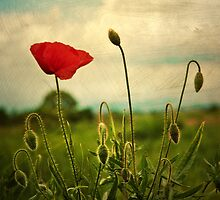 poppies by VioletDart