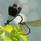 Mating Damselflies by Robert Abraham