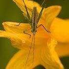 Bug on flower by Harv Churchill