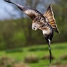 Red Kite - Near Miss by Nigel Johnson