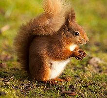 Red Squirrel by Paul Blackley