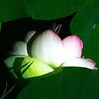 First Lotus by Anne Smyth