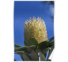 Banksia against Blue Sky Poster