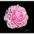The Pink Peony by Pam Clark
