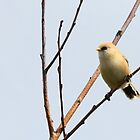 Baardman / Bearded tit by Majnu