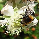 Hoverfly and bramble by sarnia2