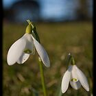 A little sprintime flower called the Snowdrop by Jessica Smith