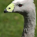 Cape Barren Goose by Debbie Ashe
