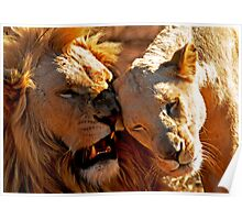 Lion snuggle? Poster