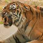 Unhappy tiger! by Rick Montgomery