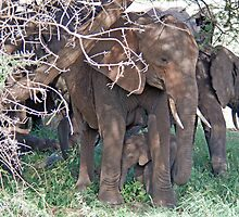 Baby Elephant and Family, Tarangire National Park, Tanzania by Adrian Paul