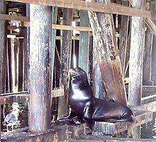 Under the Boardwalk, Down by the Sea Lion by Cupertino