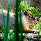 Capybara by Landscapes Mainly .