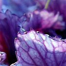 Ornamental kale in winter light by Meredith Wickham