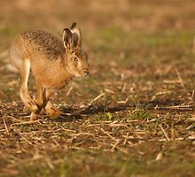 Runing Hare by Paul Blackley