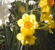 Daffodil by Tim Freedman