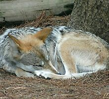 sleeping red wolf by wolf6249107