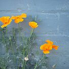 California Poppies by Tama Blough